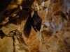 Fledermaus in der Hermannshöhle