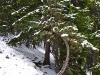 Interessanter Baum am Pfarrersteig